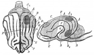 PSM_V25_D628_Brain_of_a_dog_and_diagram_of_munk